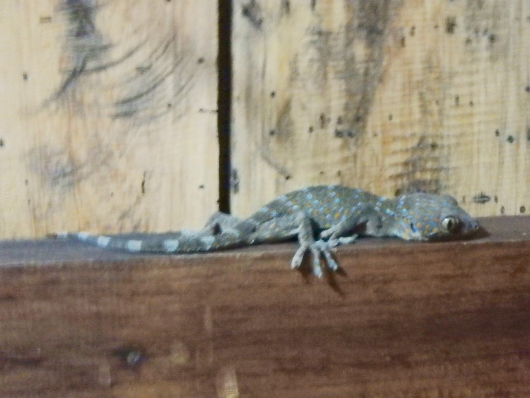 Our bathroom gecko was about 30cm long